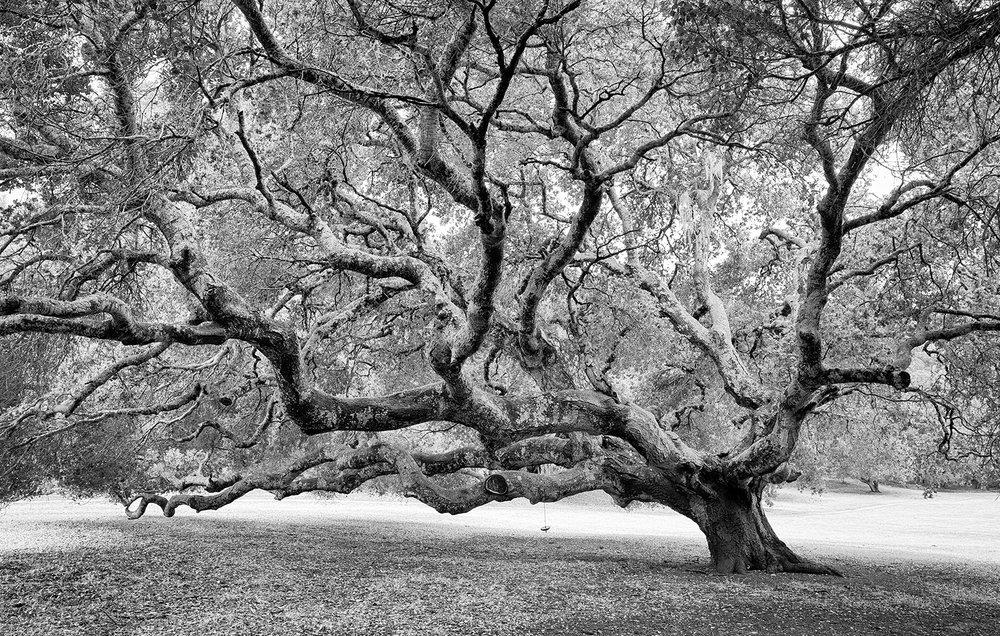 oaktreeswing.jpg