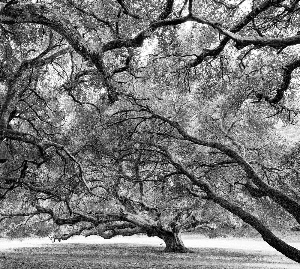 oak squared.jpg