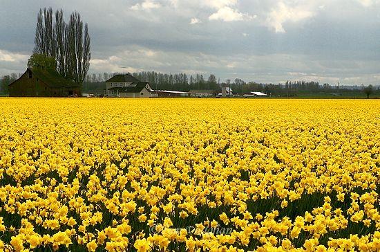 daffodil principle.jpg