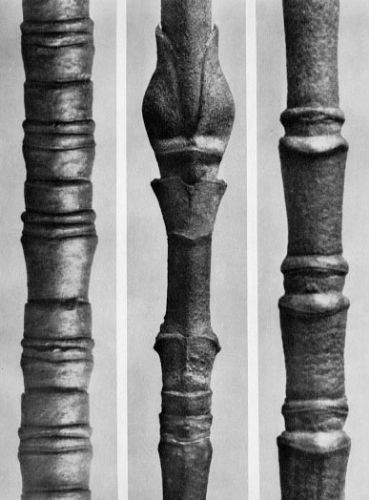 Large_WL_Photo_Karl Blossfeldt 106.jpg