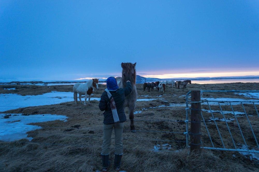 Icelandic Horses Myvatn