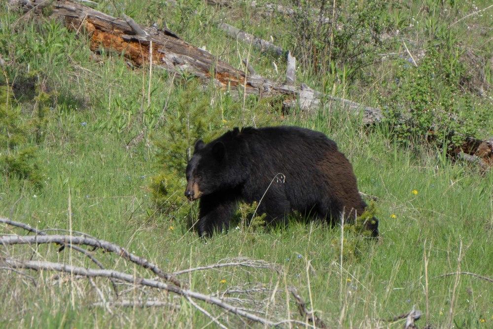 YellowstoneBears