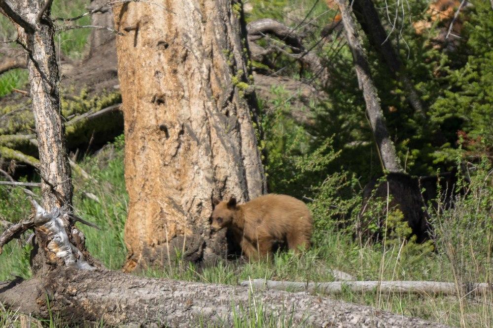 YellowstoneBears2