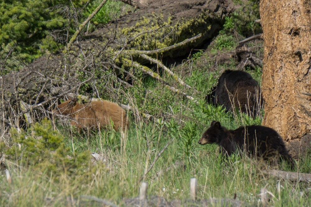 YellowstoneBears3