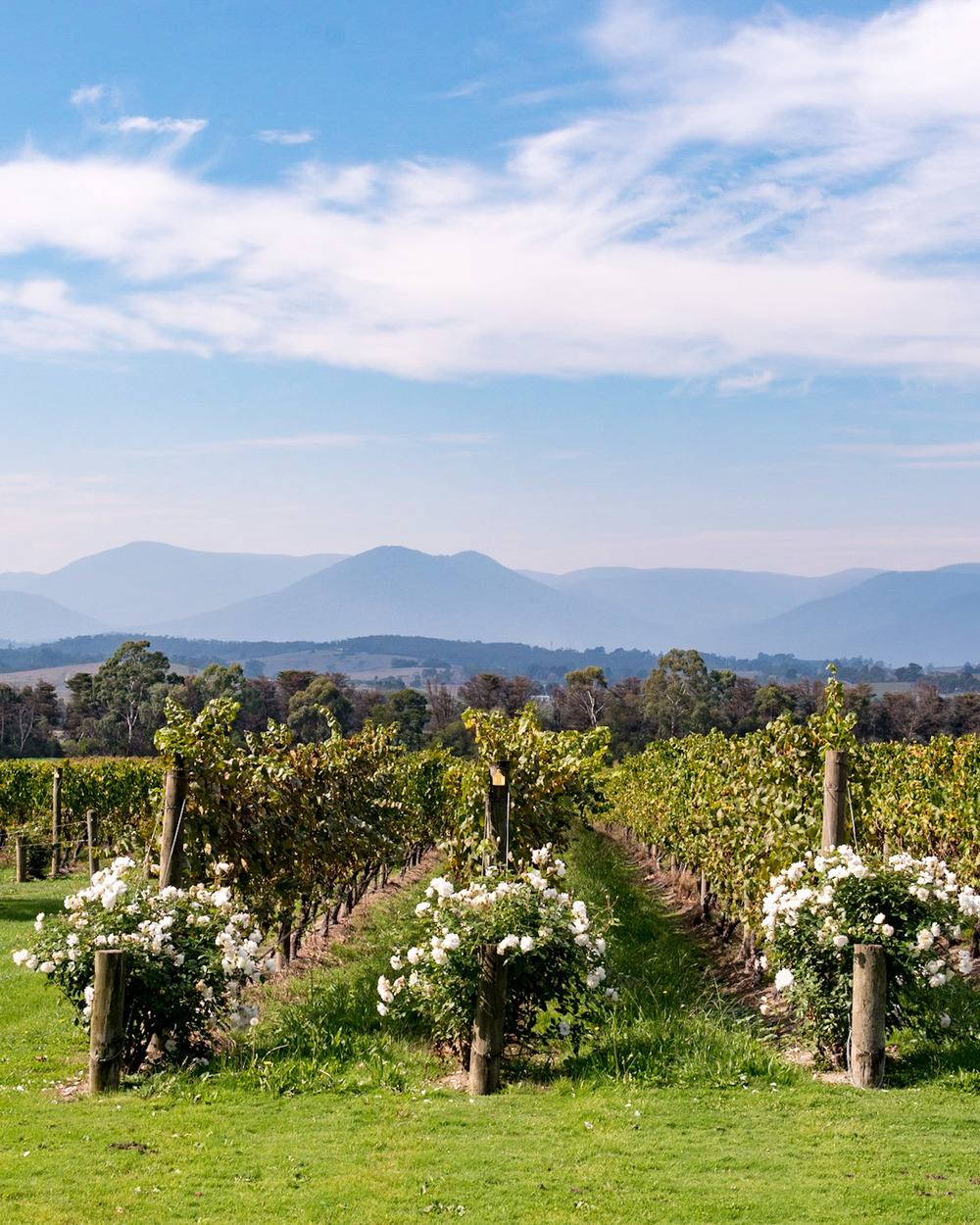 Vineyards - Domaine Chandon Yarra Valley - Melbourne, Australia