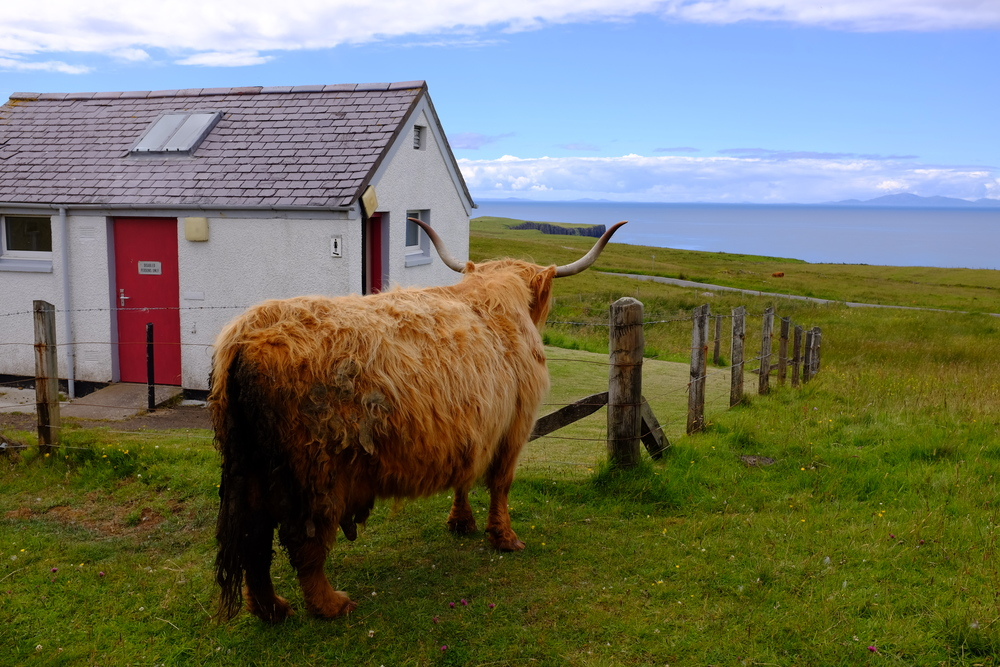 Highland Hairy Cow, Isle of Skye