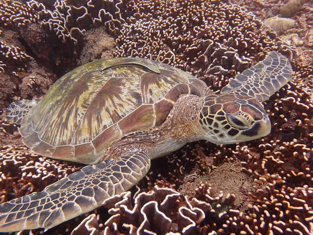 Sea Turtle, Scuba, Indonesia - a Pilot's Daughter