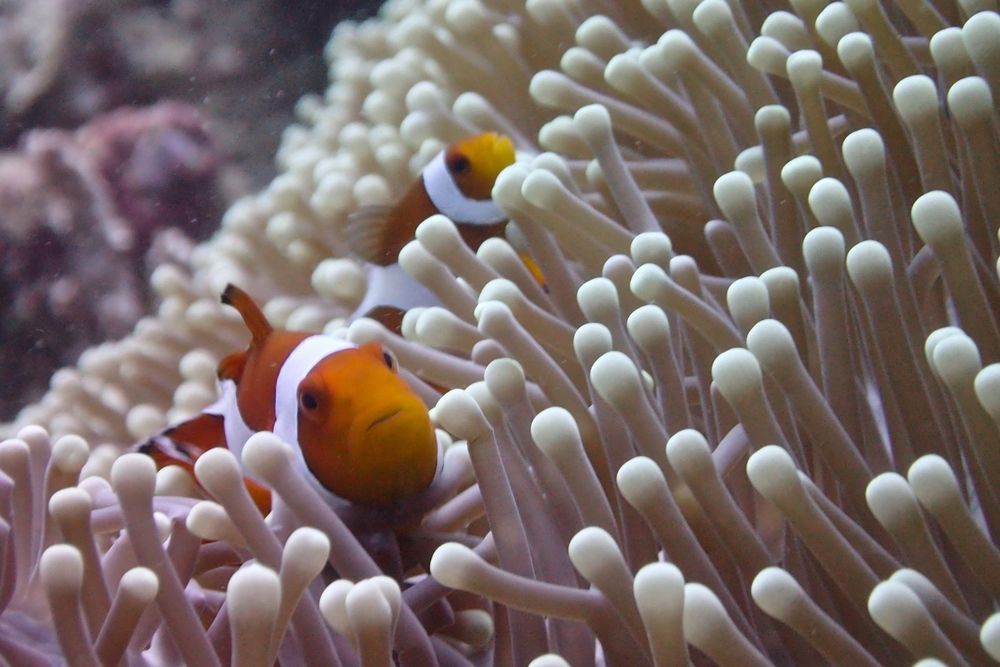 Clown Fish, Anemone, Scuba