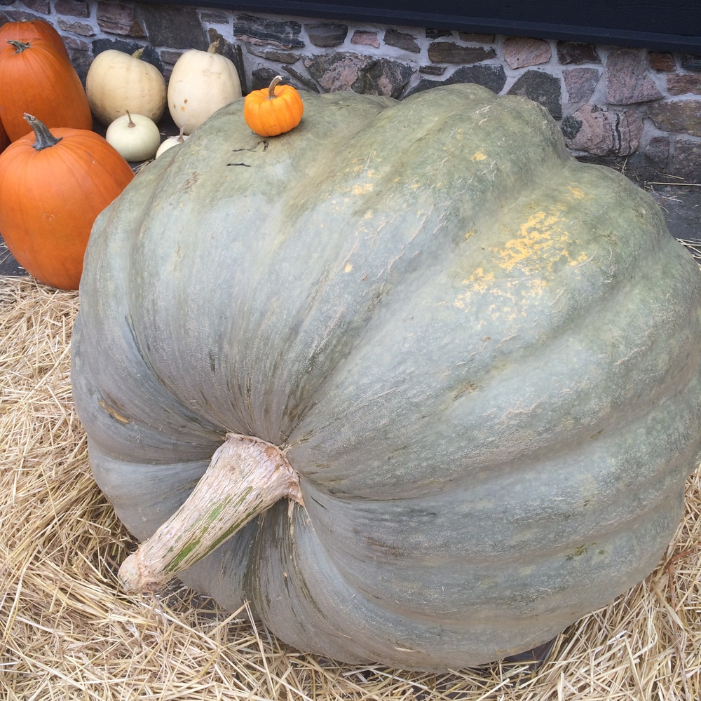 The 591 pound pumpkin outside of Crossroads Restaurant which has a special autumn harvest menu for the next few weeks, we may be in trouble around here.