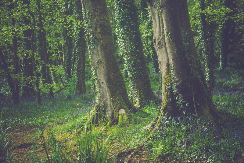 bluebellwoods.jpg