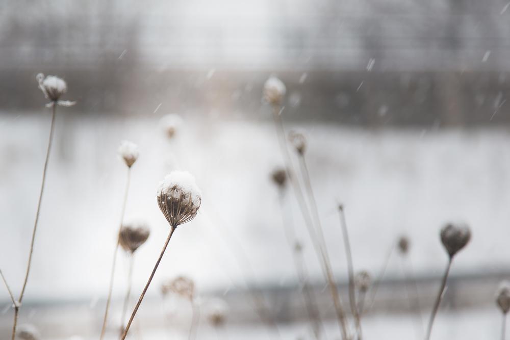 Day 37 - Winter Dandelion