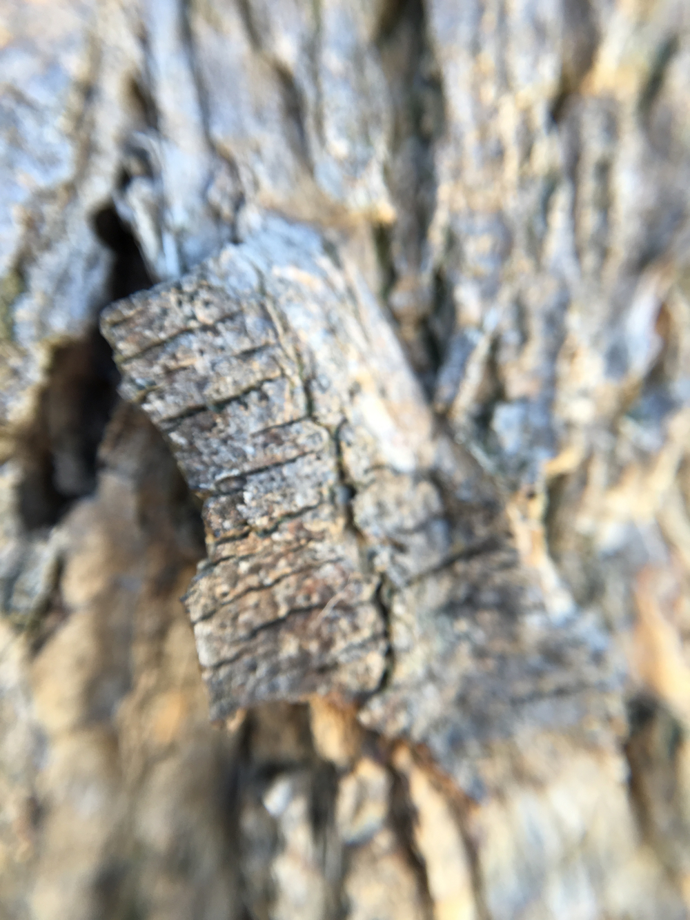 10x zoom onto bark - 1 cm piece.