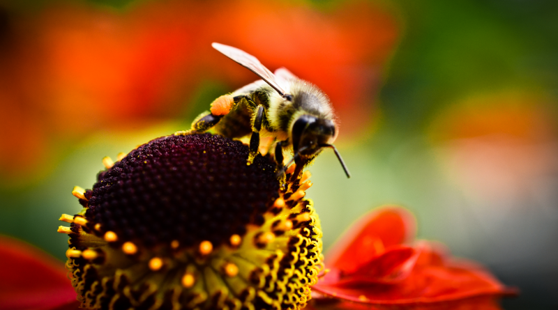 Seattle Urban Farm Company_Bee on Helenium_Hilary Dahl