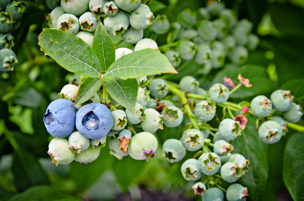 Front Yard Vegetable Garden_blueberries_Seattle Urban Farm Company