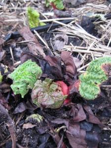 rhubarb sprout.jpg