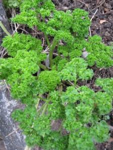 curled leaf parsley.jpg