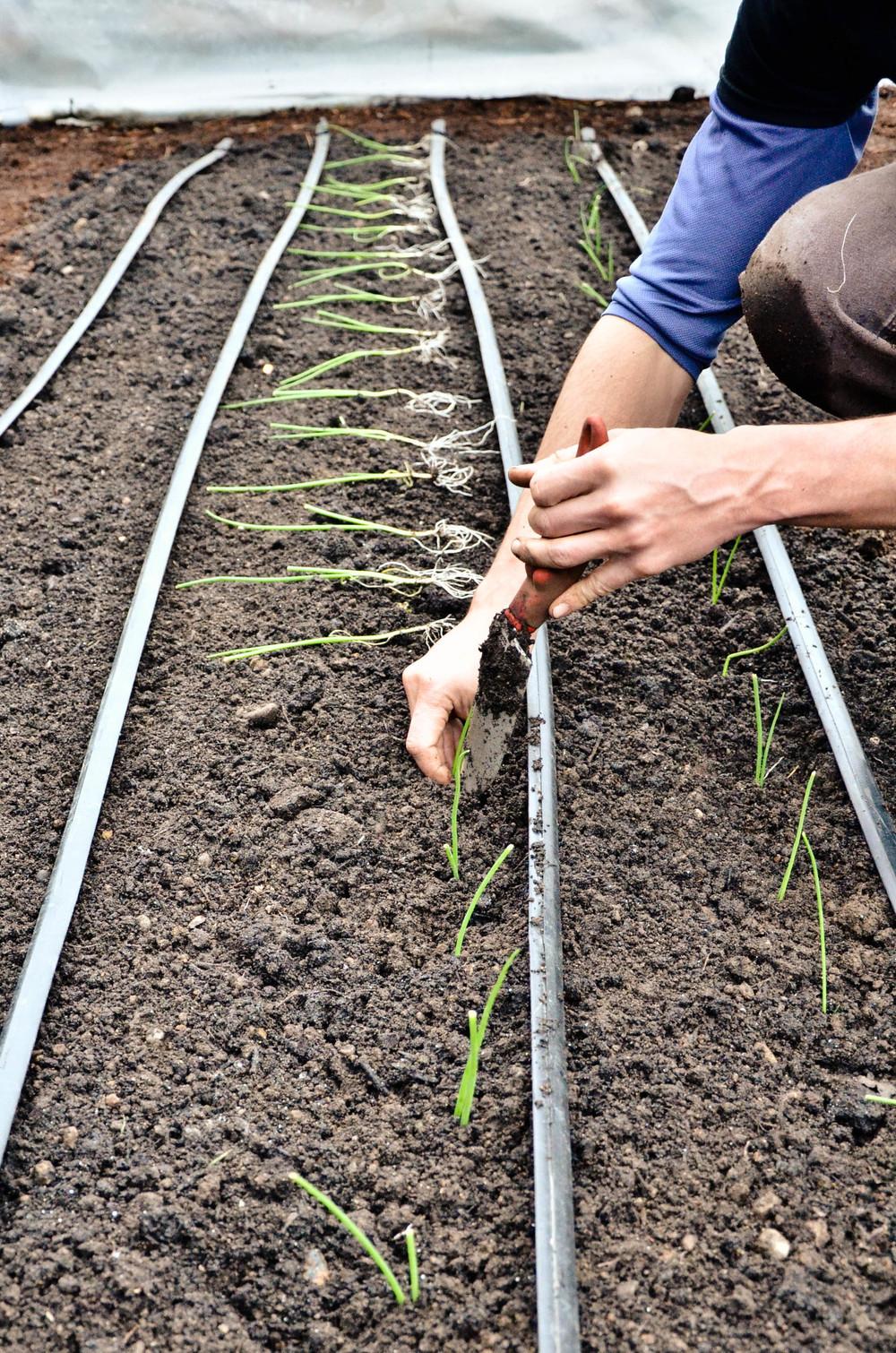 onions plantings News2.jpg