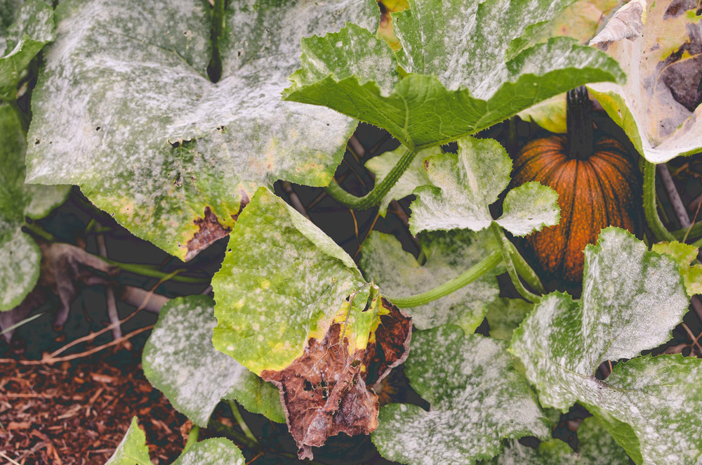 organic anti fungal spray for peas and summer squash seattle urban farm company. Black Bedroom Furniture Sets. Home Design Ideas