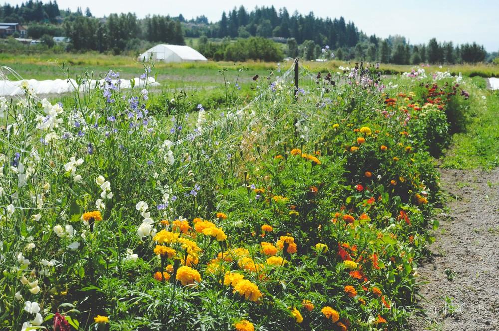Planning Your Annual Cut Flower Garden Seattle Urban Farm Company