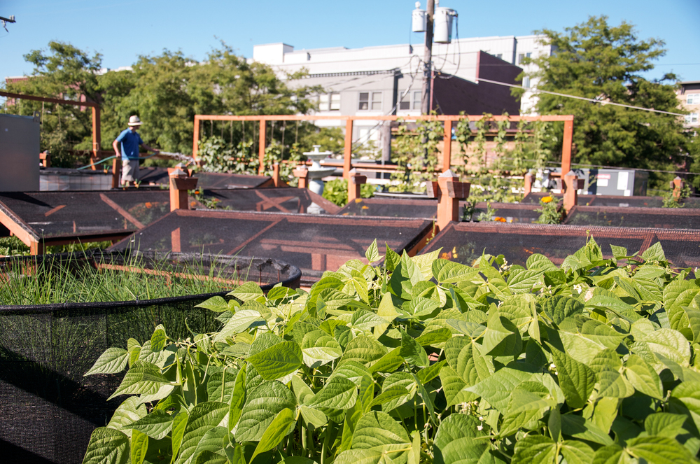 Bastille Rooftop_Restaurant Vegetable Garden_Seattle Urban Farm Company.jpg