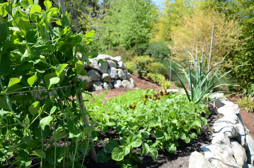 Bamboo Pea Tri-pod in Vegetable Garden_ Photo by Seattle Urban Farm Co.
