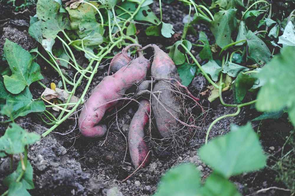 Sweet Potatoes_ Photo by Seattle Urban Farm Co