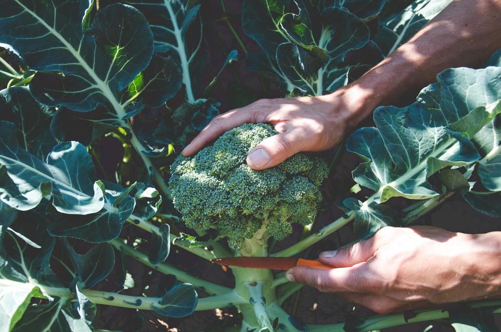 Organic Fertilizer Breakdown Part One Blood Meal Seattle Urban