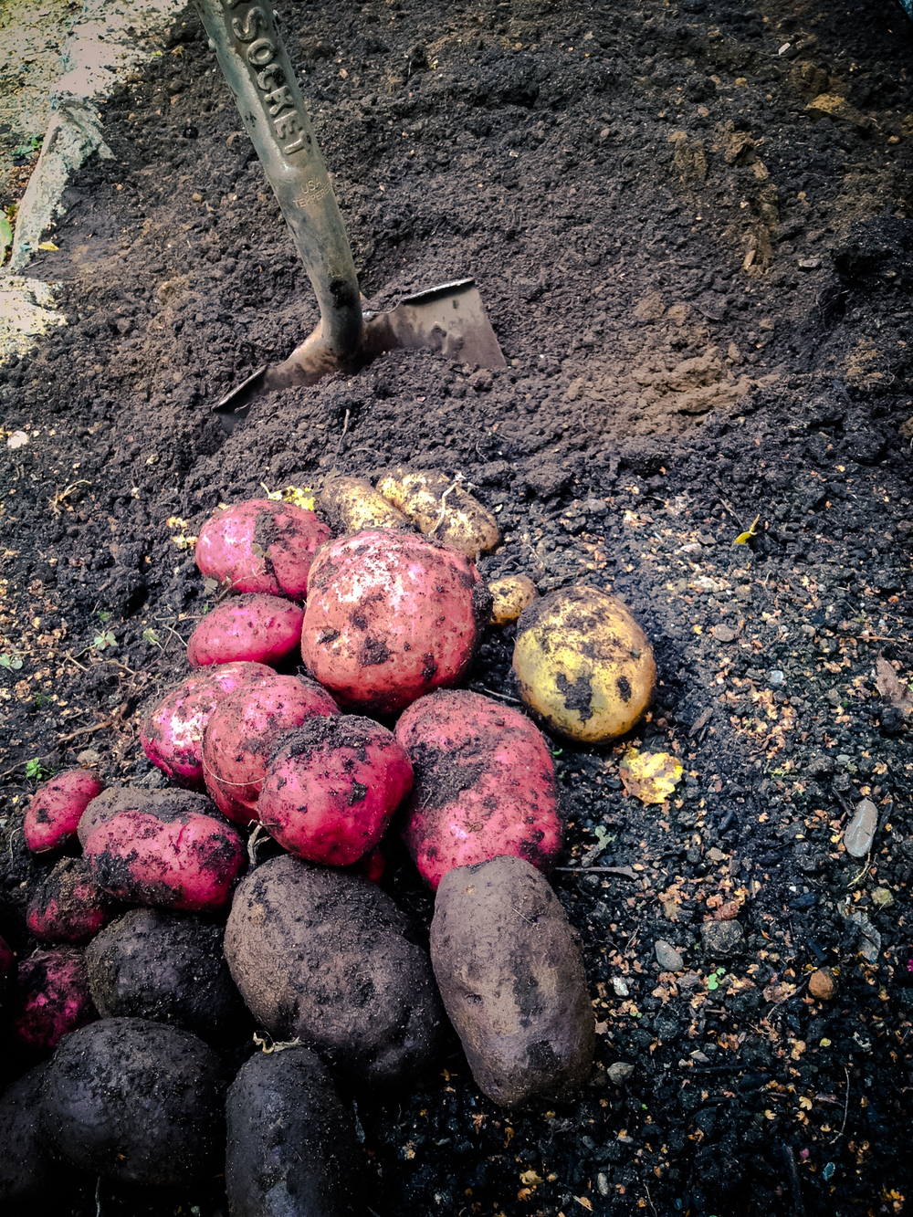 Storage Potato Harvest