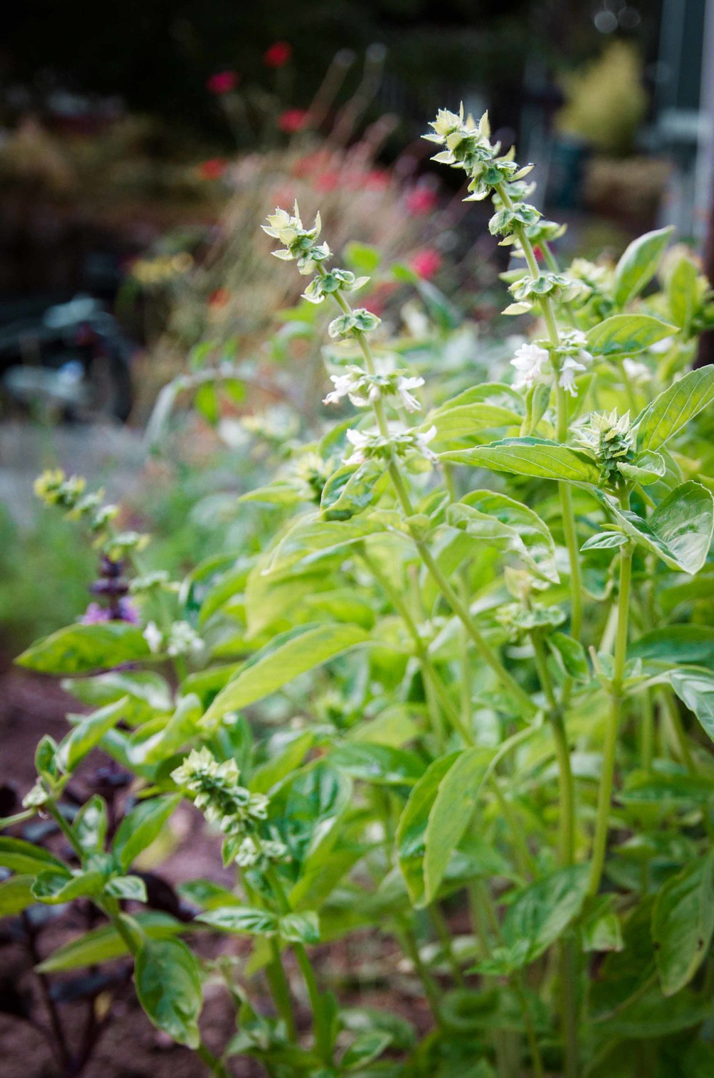 Flowering signals the end of the basil plants lifecycle.
