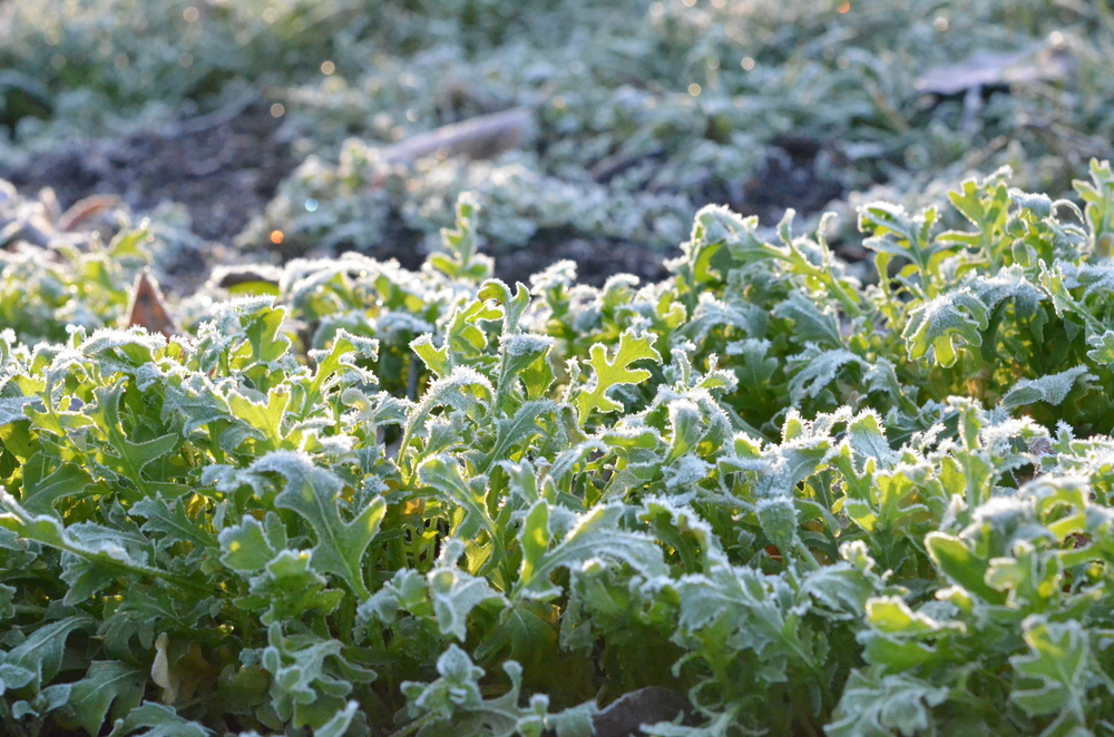 Arugula_Frost_Seattle Urban Farm Co.
