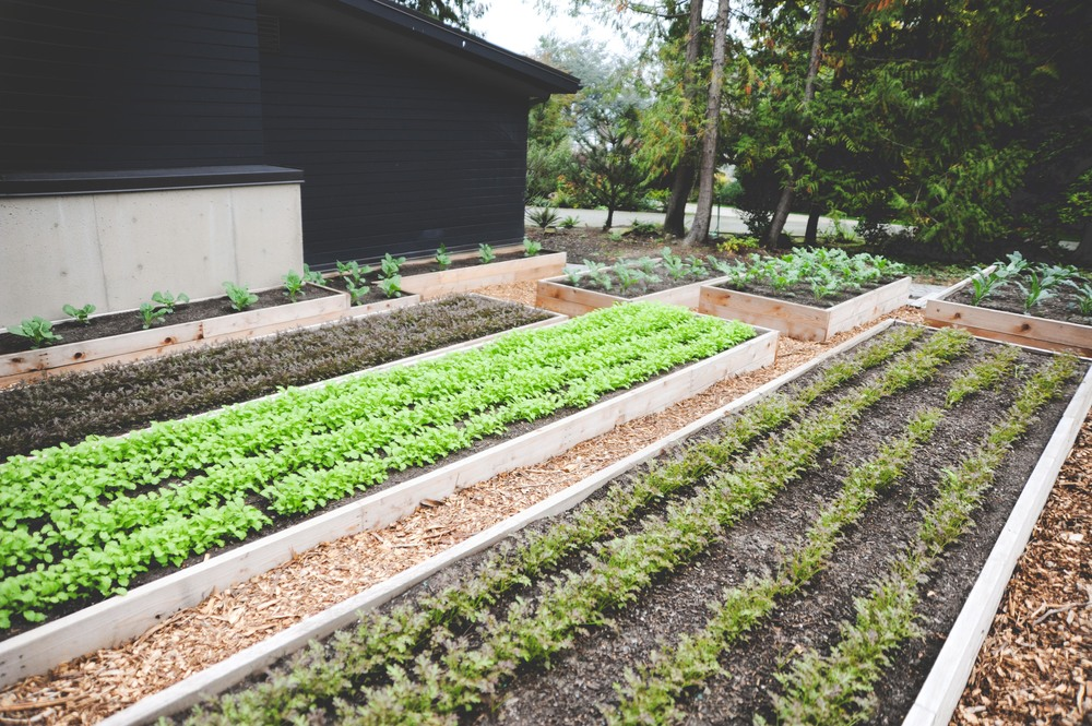this garden was built during the spring and summer and planted with the first annual vegetables - Fall Vegetable Garden