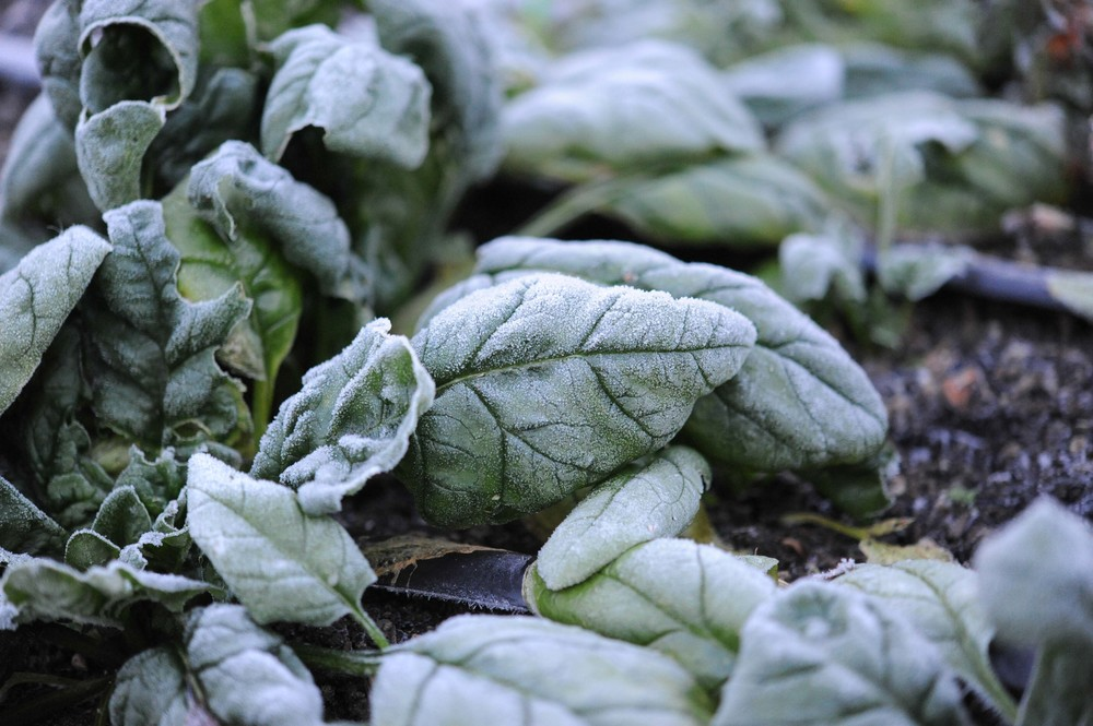 A Quick Note On Fall Spinach