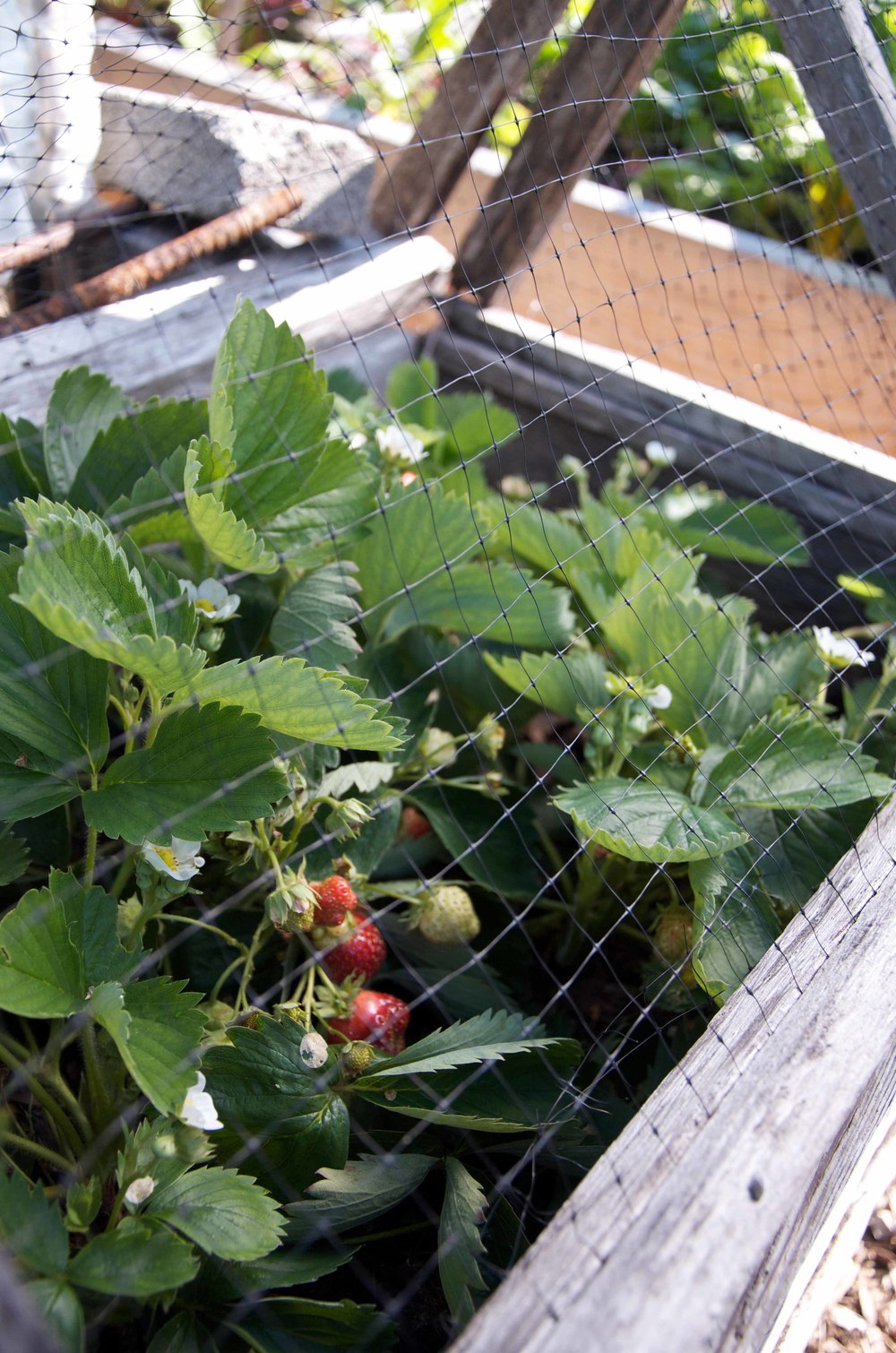Strawberry Bird Netting.jpg