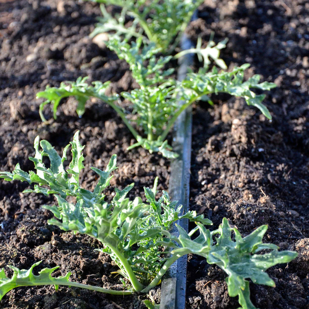 Transplanted kale growing along drip tape