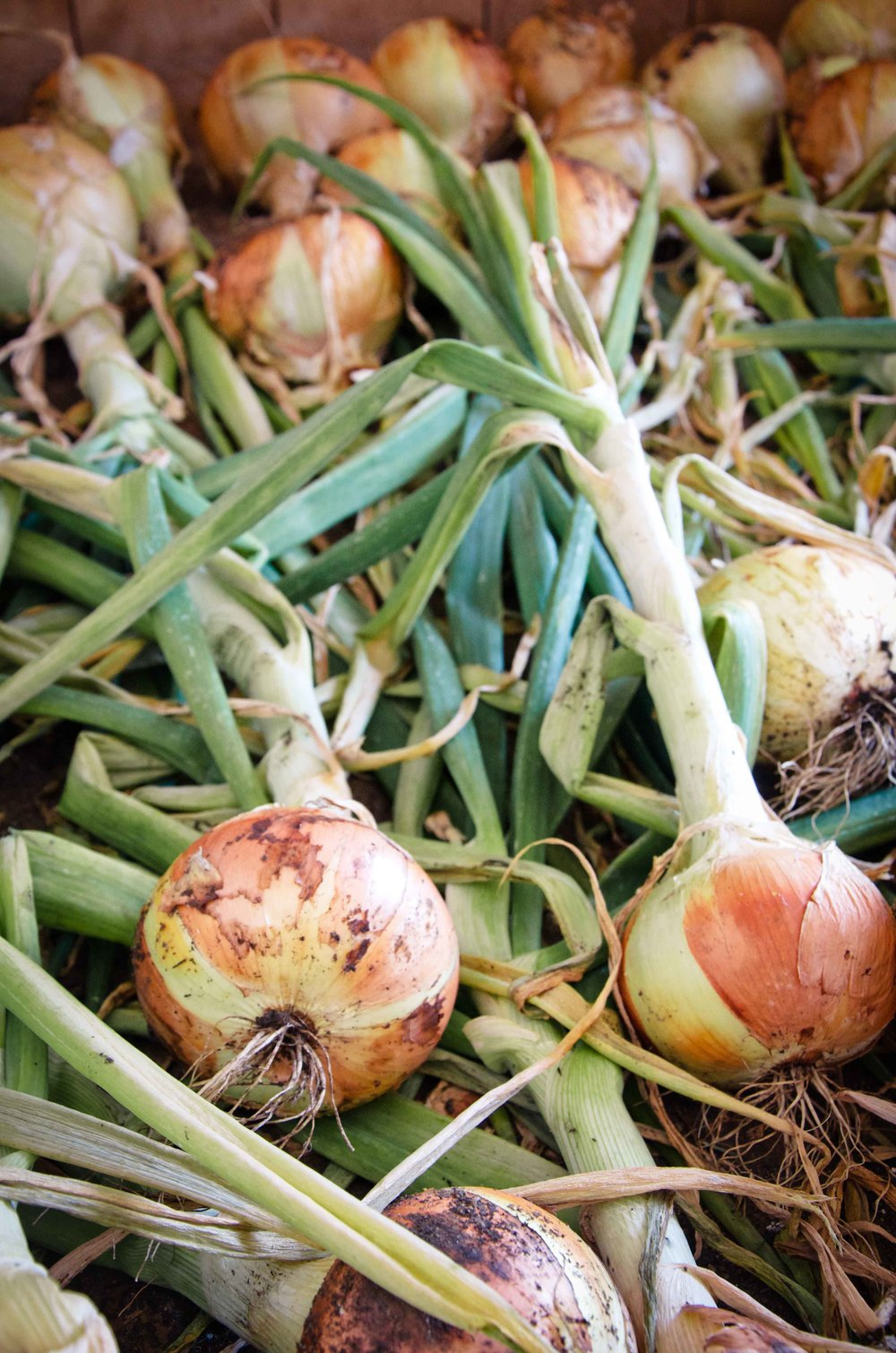 Onions curing after harvest.