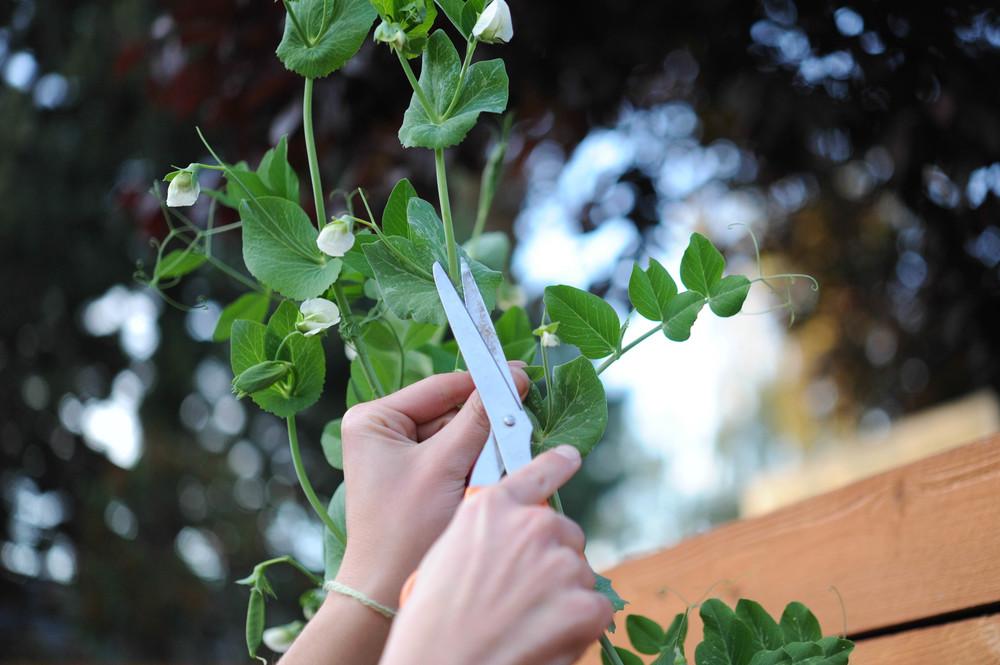 Peas plant leaf axis