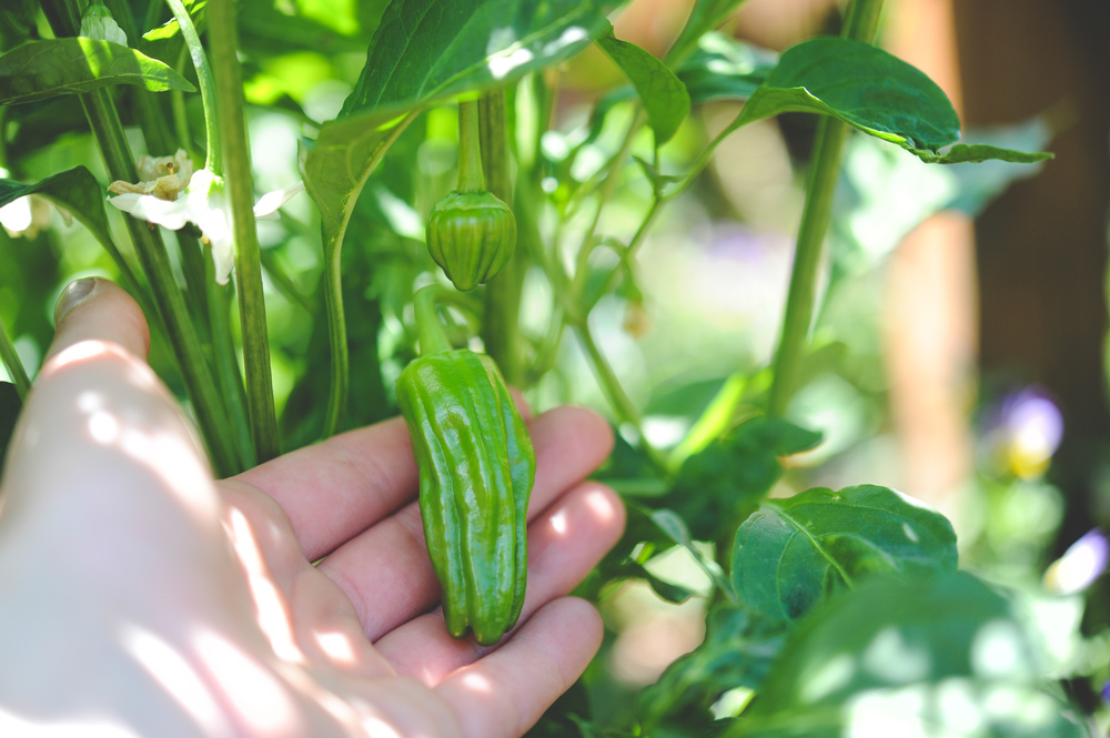 Padrone peppers are traditionally harvested green.