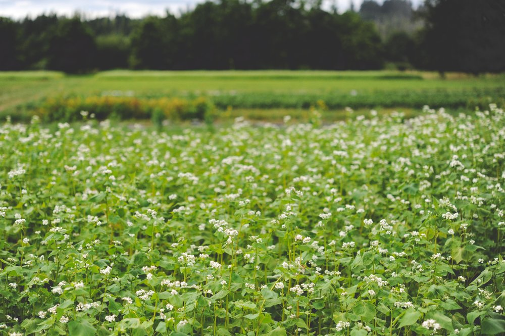 Buckwheat at our production farm. You can see the massive amount of organic matter that some cover crops produce, making it more difficult to turn into the soil using hand tools and working on a small backyard scale.