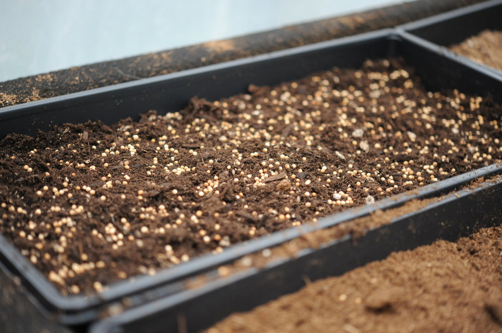 1. Cilantro seeded for microgreens