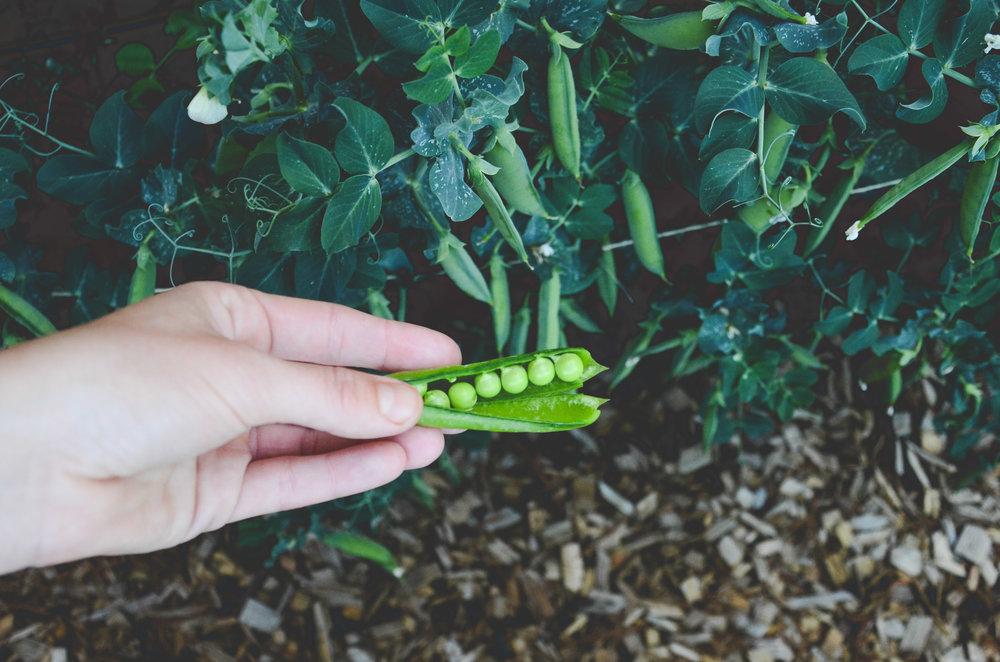 Shelling Peas_Seattle Urban Farm Co.