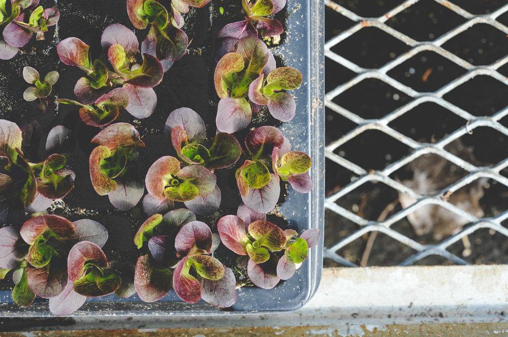 lettuce transplants_.jpg