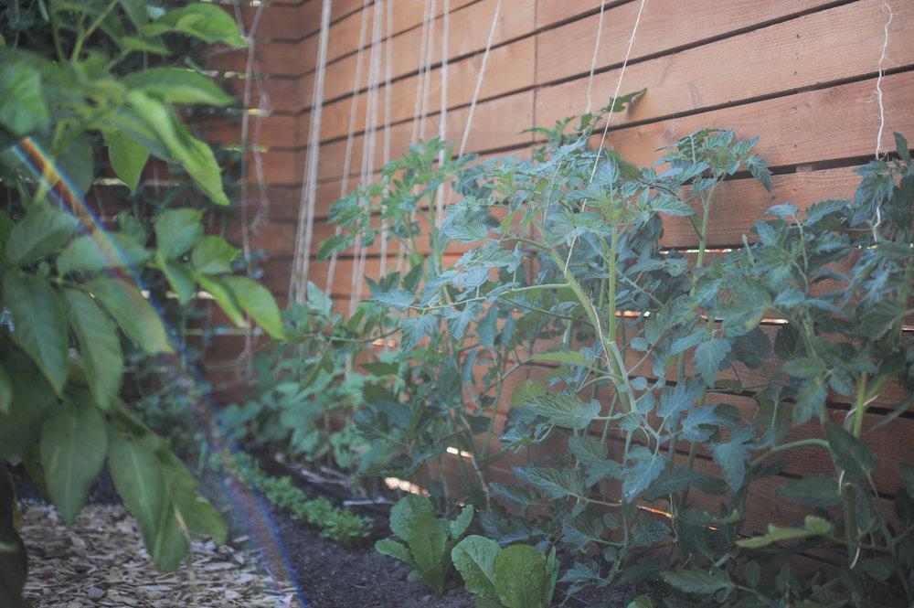 tomatoes_String Trellis.jpg