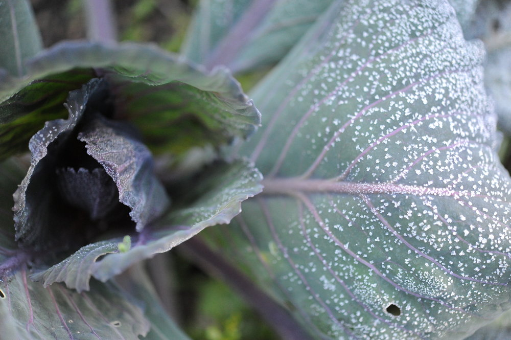 Frost on cabbage_Seattle Urban Farm Co.