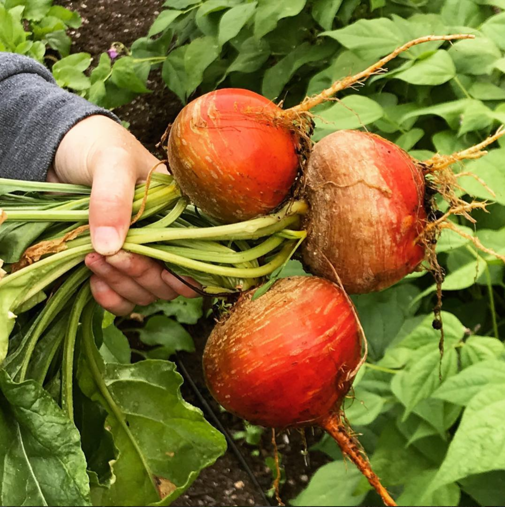 Kellie's Touchstone Golden beets