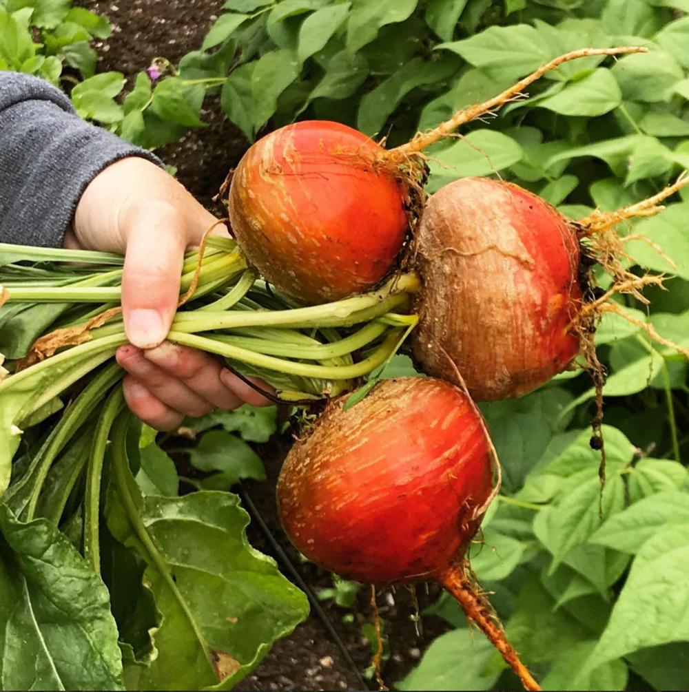 Kellie's Touchstone Golden beets