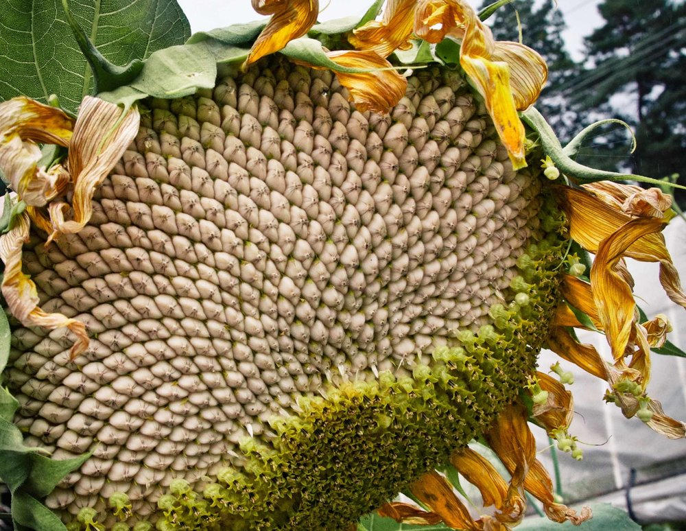 sunflower harvest FB.jpg