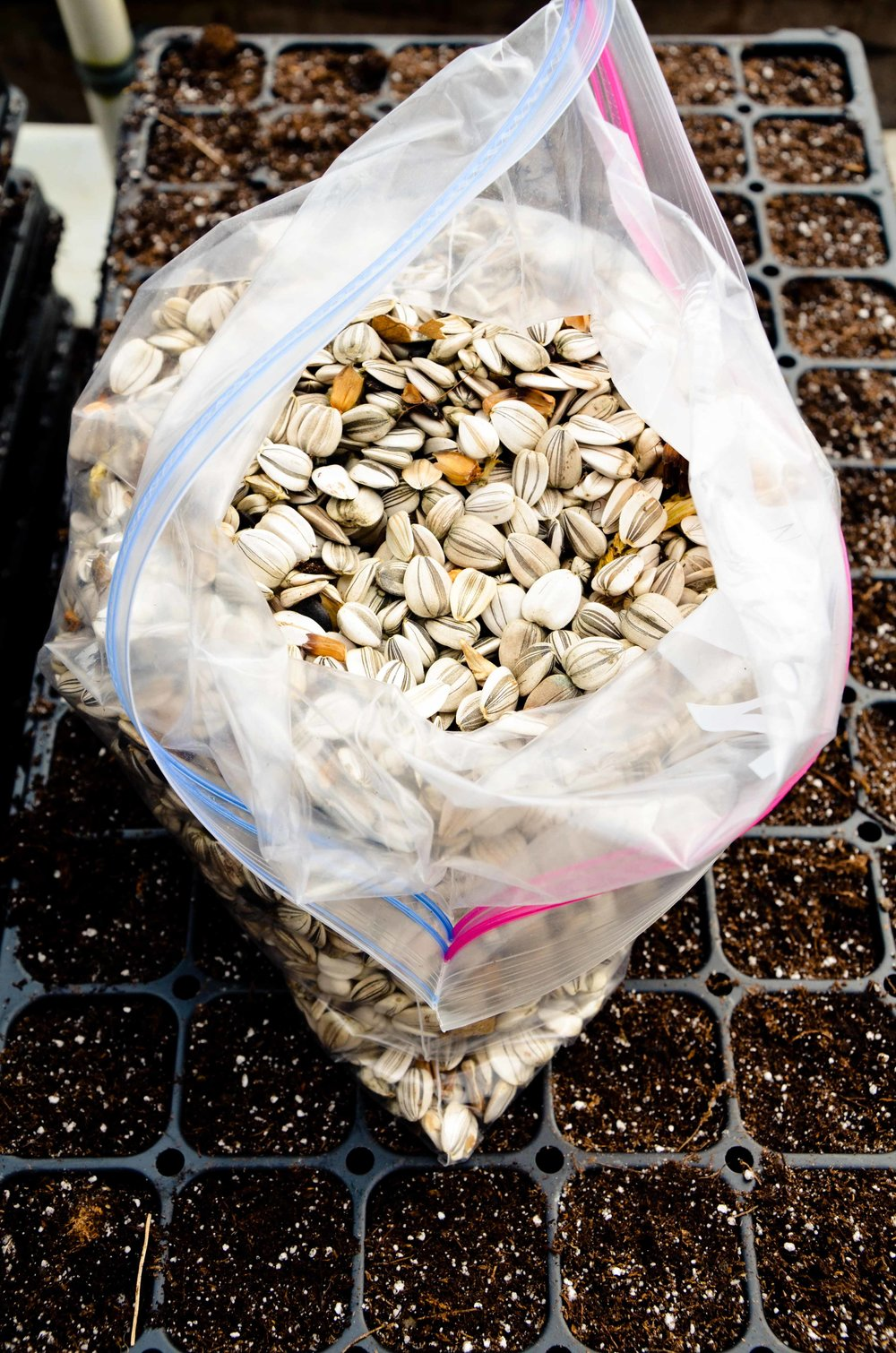 sunflower seeds.jpg