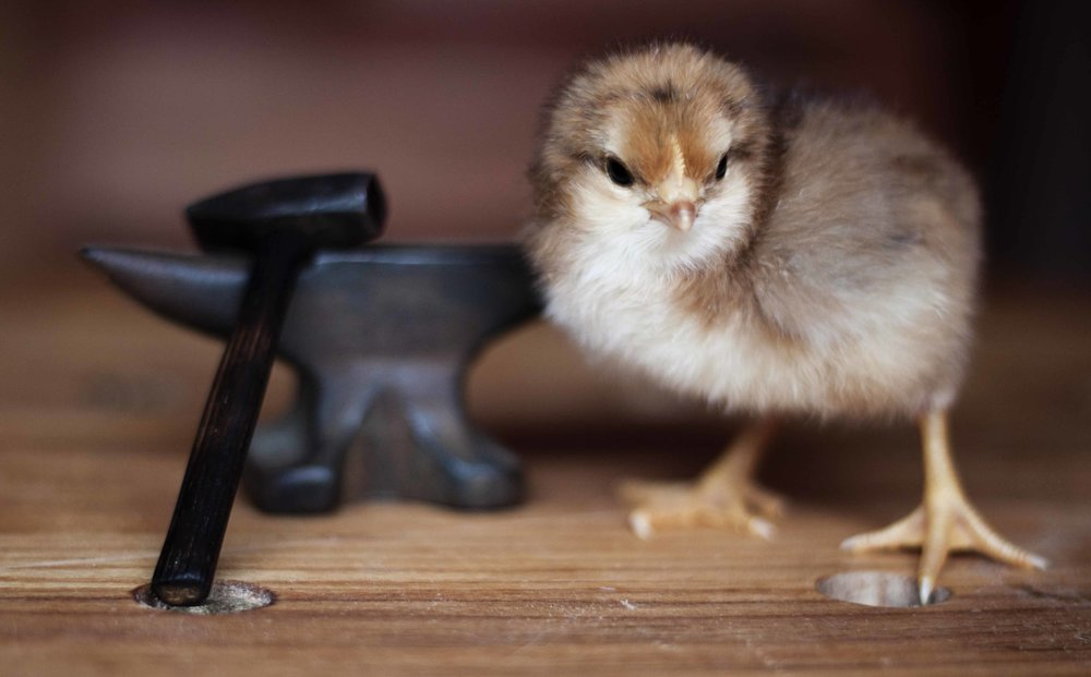 A baby chick with some of Anne's wood working tools