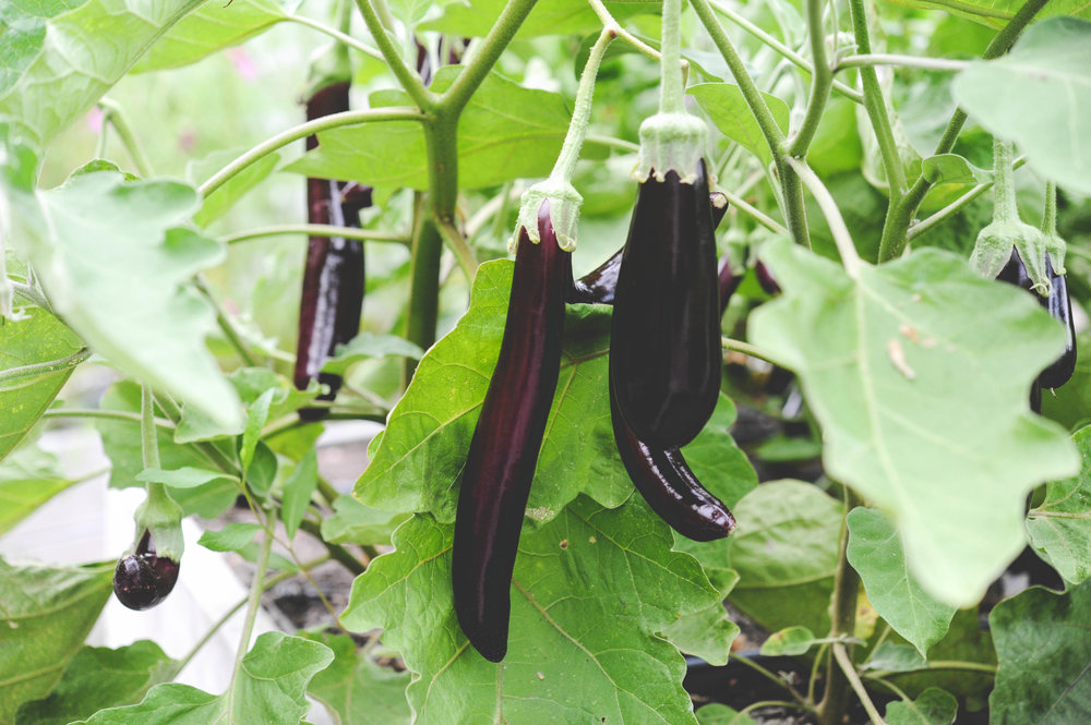 little fingers eggplant_Hilary Dahl_Encyclopedia Botanica.jpg