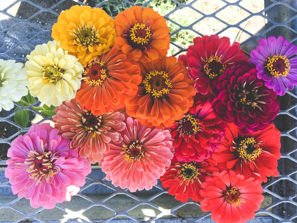 benary's zinnias_Hilary Dahl_.jpg